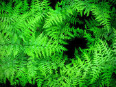 Lush Green Ferns — Stock Photo