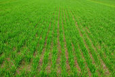 рост зерновых культур — Стоковое фото