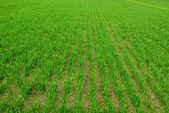 Odla grödor — Stockfoto