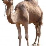 Kamel — Stockfoto