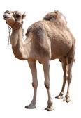 骆驼 — 图库照片