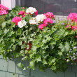 Geranium Window Box — 图库照片