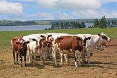 Ayrshire Cattle — Stock Photo