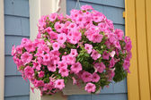 Petunia Hanging Basket — Stock Photo