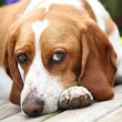 Contemplative Beagle — Stock Photo