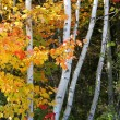 Birch Trees — Stock Photo #2350200