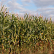 Corn Crop — Stock Photo #2362469