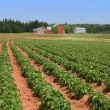 Prince Edward Island Potato Farm - Stock Photo