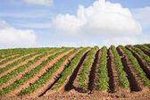 Potato Farm — Stock Photo