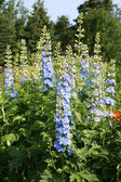 Blue Delphiniums — Stock Photo