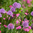 Chive Flowers — Stock Photo #2370243
