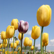 Odd Tulip — Stock Photo