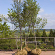 Stock Photo: Large Nursery Trees