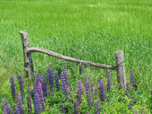 Spring Lupins — Stock Photo