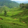 piantagioni di tè a cameron highlands — Foto Stock
