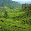 Teeplantagen in den Cameron highlands — Stockfoto