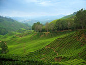 Tea plantations in Cameron Highlands — Stock Photo