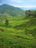 Tea plantations in Cameron Highlands — Stock Photo
