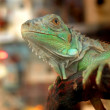 Urban iguana - Stock Photo