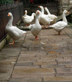 Geese at large — Stock Photo