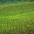 Tea crop in Cameron Highlands, Malaysia — Stock Photo