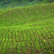 Stock Photo: Tecrop in Cameron Highlands, Malaysia