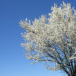 Isolated white blossoming cherry tree — Stock Photo #2463327
