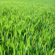 Stock Photo: Green field background