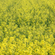 Yellow rape field background — Stock Photo
