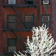 Blossoming tree over decaying facade — Stock Photo