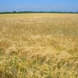 Wheat field in spring — Stock Photo