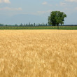 Wheat field in spring and lonely tree — Stock Photo