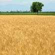 Wheat field in spring, vertical — Stock Photo