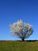 Isolated white blossoming cherry tree — Stock Photo