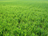 Green field background, near to horizon — Stock Photo