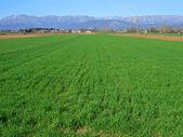 Campo verde cultivado y alpes — Foto de Stock