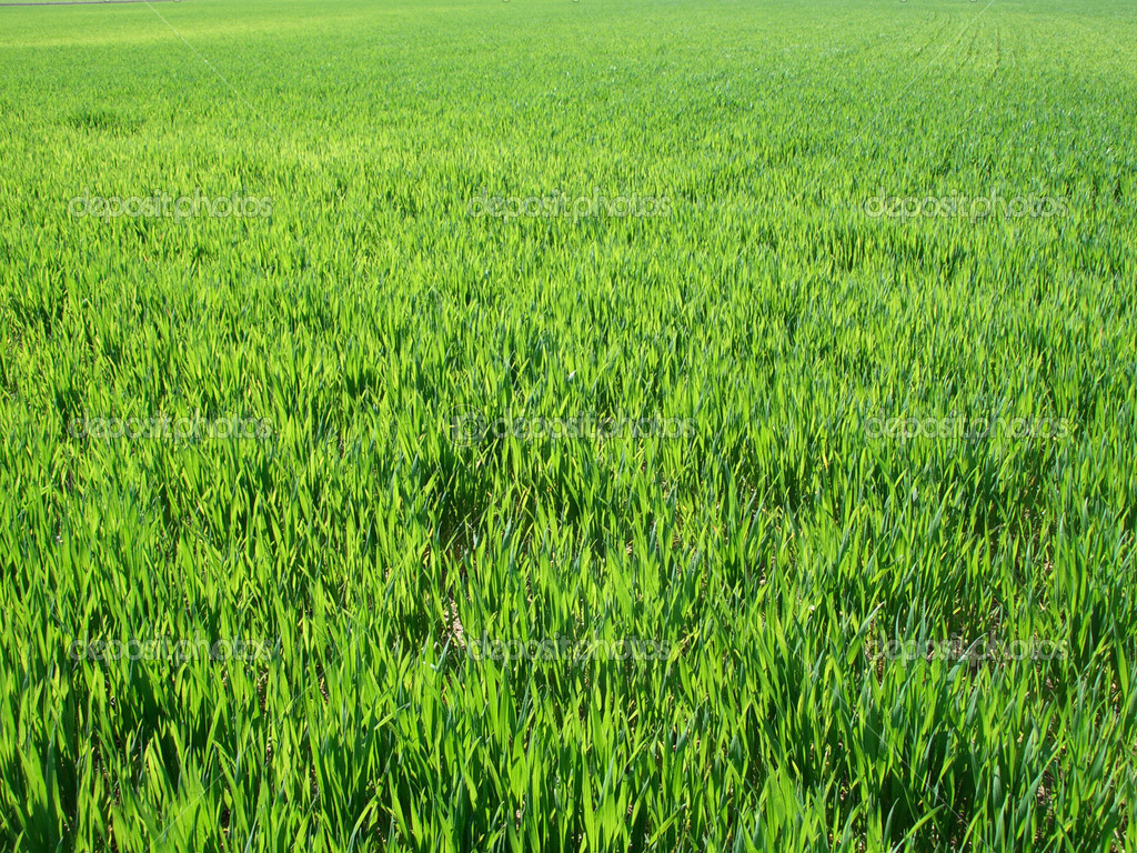 Green field background, view ranges from near grass blades to horizon — Stock Photo #2463346