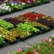 Multicolored pansies and coleus plants - Stock Photo