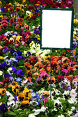 Multicolored pansies with sign — Stock Photo