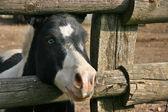 Blue eyed black and white pony — Stock Photo
