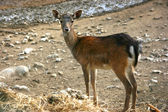 Fawn looking — Stock Photo