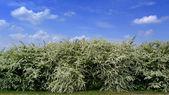 Florescendo maciça — Foto Stock