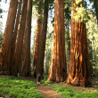 Man Hiking on Trail Next to Redwoods — Stock Photo #2285440