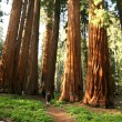 Man Hiking on Trail Next to Redwoods — Stock Photo