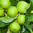 Green aplles on a tree — Stock Photo