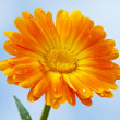 Orange gerbera against sky background - Stock Photo