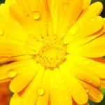 Gerbera con las gotas de lluvia — Foto de Stock