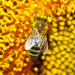 Bee on a sunflower - Foto de Stock