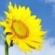 Sunflower - Foto Stock