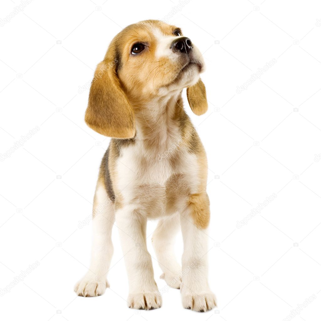 Beagle (2 months) in front of white background — Lizenzfreies Foto #2333348